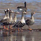 Gray Geese by lorilee