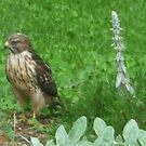 Young hawk by nealbarnett