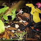Dyeing Dart Frog by Kimberly Chadwick