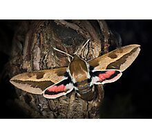 Spurge Hawk-Moth Photographic Print