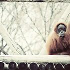 Oranguatans Are Skeptical [2] by FaireUnVoeu