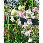 Sweet Peas by Elaine Game