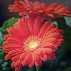 Orange Gerber Daisy Flower by Elizabeth Thomas