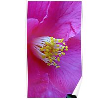Camellia in Pink Poster