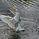 flapping Duck by davesphotographics
