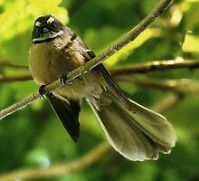 Fantail.......I'm watching your every move........! by Roy  Massicks