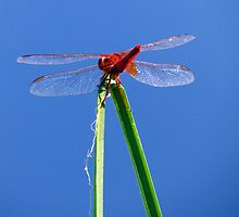 Dragonfly 3 by Kallian