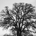 Black Oak by Brandon Taylor
