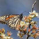 Monarch on a mexican plum tree by Kate Farkas