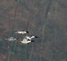 Mergansers In Flight Square by Bill Wakeley