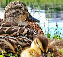 sleepy duckling with mama by Beth Brightman