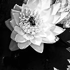 white water lily in shadow with bee by Beth Brightman