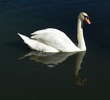 Swan Reflection by Christy Leigh