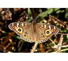Meadow Argus – Junonia villida Photographic Print