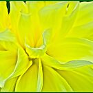 Yellow Bloom by Carolyn Clark