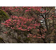 Pink Spring - Dogwood Filigree and Lace Photographic Print