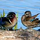 Mr. and Mrs. Wood Duck by imagetj