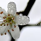 """"""" Droplets On Blossom (Edition 1) by Richard Couchman"""