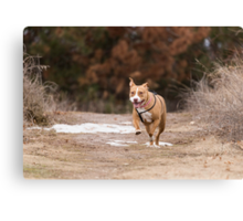 Shelby Kicking Up Her Heals Canvas Print