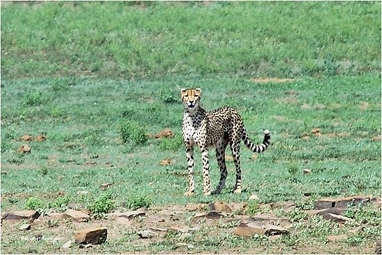 A DAY IN THE LIFE OF A CHEETA - CAPTURE DISCOURAGED - CHEETAH – Acinonyx jabatus – Die Jagluiperd by Magaret Meintjes