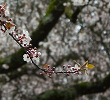 White cherry blossoms - Single strand by Rod Raglin