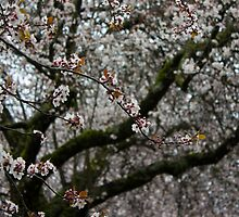 Cherry Blossom White by Rod Raglin