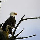 eagle striking a pose by dedmanshootn