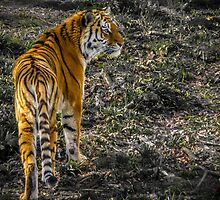 Tigress. by HandsinFocus