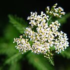 White Yarrow Flower by Christina Rollo