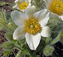 white pasque-flower by Grazyna W.