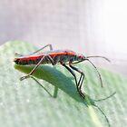 Boxelder Bug by David Lamb