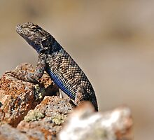 Blue Bellied Lizard by Jared Manninen