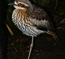 Bush Thick-knee by tasmanianartist