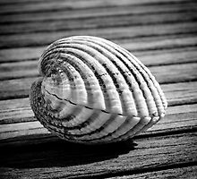 Sea shell on wood by Dave Hare