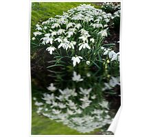 Snowdrops in reflection Poster