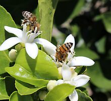 Bees Pollinating Fruit Trees by rhamm