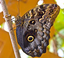Huge Butterfly in Mindo Ecuador by Al Bourassa