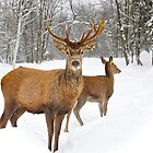 Red Deer Duo by Poete100