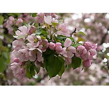 Blossoms and Buds - Springtime Apple Tree Photographic Print