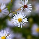 White Aster Flower by Christina Rollo