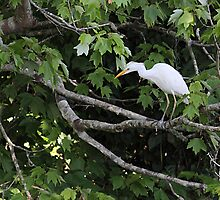 Cattle Egret by Carol Bailey White