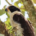 Laughing Falcon profile by hummingbirds