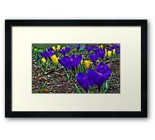 Crocus Of Spring Framed Print