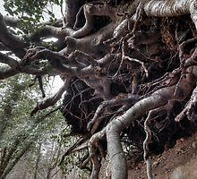 Tree Roots by StefanFierros