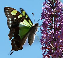 Macleay's Swallowtail, Graphium macleayanus by Trish Meyer