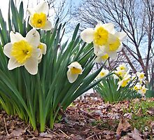 Daffodils Of Spring by James Brotherton