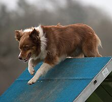 Dog Agility No. 3 by J-images