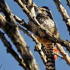 Cactus Wren by Heather Haderly