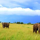 African Elephants by Charuhas  Images