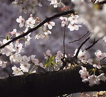 Spring cherry blossoms by DerekEntwistle
